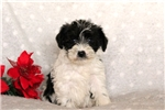 Picture of Tyler / Miniature Schnoodle