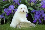 Picture of Atlee / Schnoodle Miniature