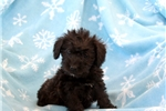 Picture of Roycie / Schnoodle Miniature
