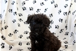 Picture of Roscoe / Schnoodle Miniature