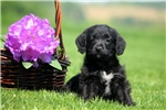 Picture of Cynthia / Schnoodle Miniature