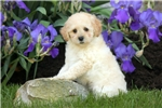 Picture of Abe / Schnoodle Miniature