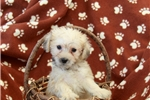 Picture of Ruby / Schnoodle Miniature