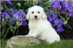 Picture of Andy / Schnoodle Miniature