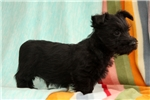 Picture of Sarge / Scottish Terrier