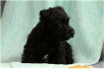 Picture of Samantha / Scottish Terrier