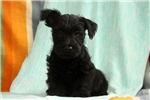 Picture of Savannah / Scottish Terrier