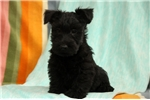 Picture of Surry / Scottish Terrier