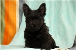 Picture of Sesame / Scottish Terrier