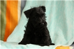 Picture of Summer / Scottish Terrier