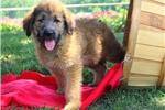 Picture of a Shepadoodle Puppy