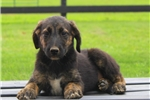 Picture of Ava / Shepadoodle