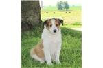 Picture of Corkey / Shetland Sheepdog