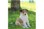 Picture of Candy / Shetland Sheepdog