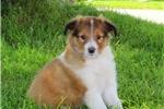 Picture of Cody / Shetland Sheepdog