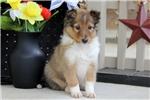 Picture of Carson / Shetland Sheepdog