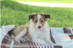 Picture of Cutie / Shetland Sheepdog