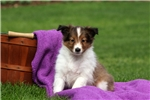 Picture of Asher / Shetland Sheepdog