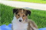 Picture of Carla / Shetland Sheepdog