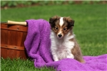Picture of Annie / Shetland Sheepdog