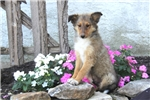 Picture of Buddy / Shetland Sheepdog