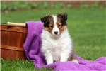 Picture of Almond / Shetland Sheepdog