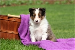 Picture of Avery / Shetland Sheepdog