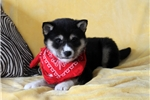 Picture of Miley / Shiba Inu