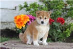 Picture of Beauty / Shiba Inu