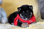 Picture of Midnight / Shiba Inu
