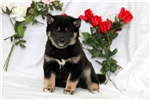 Picture of Sylvia / Shiba Inu