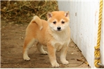 Picture of Olive / Shiba Inu