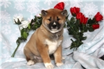 Picture of Shelby / Shiba Inu