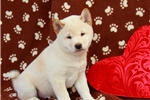 Picture of Gunther / Shiba Inu