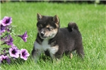 Picture of Lillie / Shiba Inu