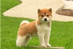 Picture of Sarie / Shiba Inu