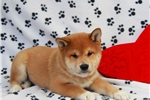 Picture of George / Shiba Inu