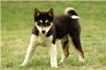 Picture of Puddles / Shiba Inu