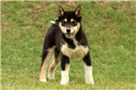 Picture of Prince / Shiba Inu