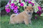 Picture of Ajay / Shiba Inu