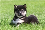Picture of Laddie / Shiba Inu