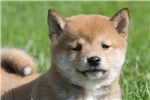 Picture of Lucy / Shiba Inu