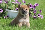 Picture of Lilac / Shiba Inu