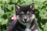 Picture of Lucille / Shiba Inu