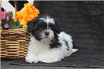 Picture of Reece / Shichon