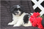 Picture of Ricky / Shichon