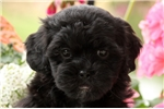 Picture of Mandy / Shihpoo