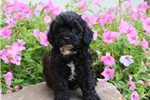 Picture of Katherine / Shih-Poo
