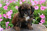 Picture of Kelly / Shih-Poo