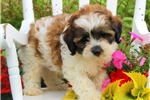Picture of Austin / Shih-Poo